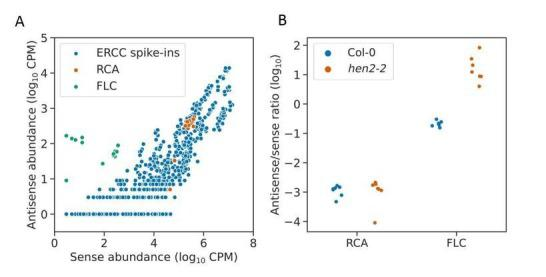 Antisense Illumina RNA-seq reads at RCA are likely to be spurious.