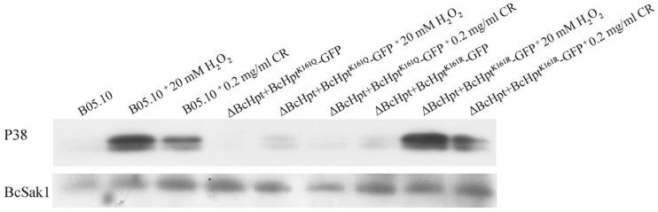 BcHpt Lys161 affects the phosphorylation levels of BcSak1. Comparison of BcSak1 phosphorylation in B05.10, ΔBcHpt + BcHpt K161Q -GFP and ΔBcHpt + BcHpt K161R -GFP. Phosphorylated and total BcSak1 proteins were detected using anti-phosphorylated p38 (Thr180/Tyr182) and anti-Hog1 antibodies, respectively.