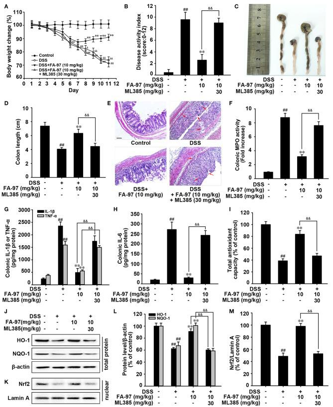 Nrf2/HO-1 signaling is critical for protection against DSS-induced colitis by FA-97. (A) Body weights of mice in each group ( n = 8) were measured. (B) Disease activity index (DAI) of mice in each group was analyzed. (C) Macroscopic appearance of the representative colon from each group. (D) The quantification of colon length from each group of mice. (E) Representative images showing colon pathologic abnormalities with hematoxylin and eosin (H E) staining. Scale bars, 100 μm. (F) The MPO activity in colonic tissues was detected by MPO Activity Assessment Kit using the O-dianisidine method. (G,H) The level of IL-1β, IL-6, and TNF-α in colonic homogenate were measured by ELISA. (I) The total antioxidant capacity in colon were measured according to the kit manufacturer's instructions. (J,K) The expression of HO-1, NQO-1, and Nrf2 in nuclear were determined by Western Blot. (L,M) Densitometric analysis was performed to determine the relative ratios of each protein. β-actin and Lamin A were used as nuclear and cytoplasmic markers, respectively. The results are representative of three independent experiments and expressed as means ± SD. ## P