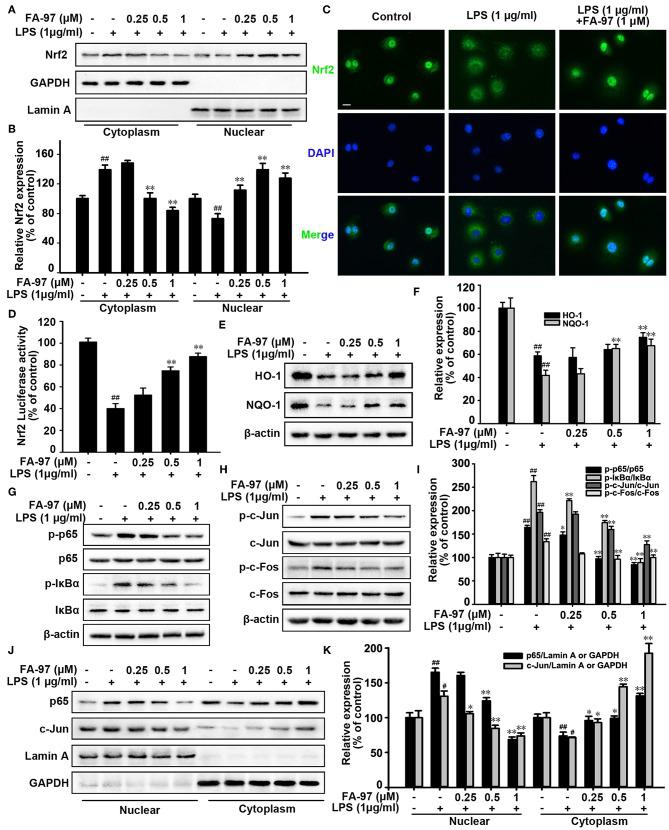 Effect of FA-97 on Nrf2/HO-1 signaling pathway in vitro . RAW264.7 cells were pretreated with FA-97 (0, 0.25, 0.5, and 1 μM) for 24 h followed by LPS (1 μg/ml) stimulation for 2 h. (A) The expression of Nrf2 in cytosolic and nuclear extracts were determined by Western Blot. Lamin A and GAPDH were used as nuclear and cytoplasmic markers, respectively. (B) Densitometric analysis was performed to determine the relative ratios of Nrf2. GAPDH and Lamin A were used as nuclear and cytoplasmic markers, respectively. (C) RAW 264.7 cell slides were immune-stained with anti-Nrf2 (green) and DAPI (blue), and then the nuclear translocation of Nrf2 was observed by confocal laser-scanning microscope. (D) After transfected with ARE luciferase reporter plasmid, the Nrf2 transcription activity of RAW 264.7 cells was detected by luciferase activity assay. (E) The level of HO-1, NQO-1, and β-actin were detected by Western Blot. (F) Densitometric analysis was performed to determine the relative ratios of HO-1 and NQO-1. (G) Protein level of p-p65, p65, p-IκBα, IκBα, and β-actin in RAW 264.7 cells were detected by Western Blot. (H) The protein level of p-c-Jun, c-Jun, p-c-Fos, c-Fos, and β-actin in RAW 264.7 cells were detected by Western Blot. (I) Densitometric analysis was performed to determine the relative ratios of each protein. (J) The expression of p65 and c-Jun in cytosolic and nuclear extracts of RAW 264.7 cells were determined by Western Blot. Lamin A and GAPDH were used as nuclear and cytoplasmic markers, respectively. (K) Densitometric analysis was performed to determine the relative ratios of p65 and c-Jun. GAPDH and Lamin A were used as nuclear and cytoplasmic markers, respectively. Scale bars, 20 μm. The results are representative of three independent experiments. # P
