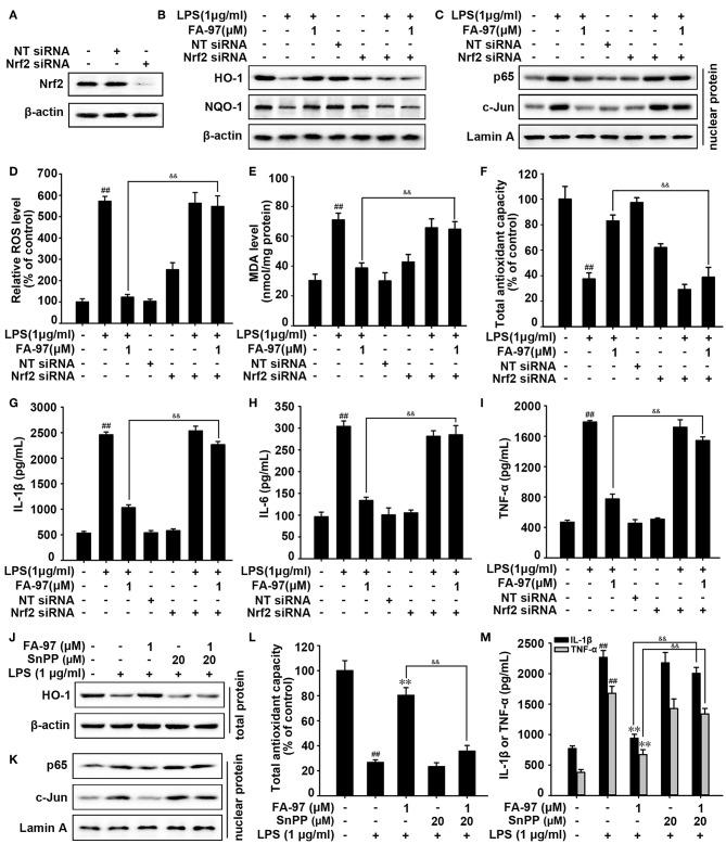 The Nrf2/HO-1 pathway was involved in the anti-oxidative and anti-inflammation effects of FA-97 in LPS-induced RAW 264.7 cells. After Nrf2 siRNA transfection, RAW 264.7 cells were treated with FA-97 (0, 0.25, 0.5, and 1 μM) for 24 h followed by LPS (1 μg/ml) stimulation for 2 h. (A) The expression of Nrf2 was detected by Western Blot after Nrf2 siRNA transfection. (B) The level of HO-1, NQO-1, and β-actin were detected by Western Blot. (C) The expression of p65 and c-Jun in nuclear extract were determined and Lamin A was used as nuclear marker. (D) The level of ROS was measured by spectrofluorimeter. The MDA level (E) and the total antioxidant capacity (F) in RAW 264.7 cells were measured according to the kit manufacturer's instructions. (G–I) The concentrations of IL-1β, IL-6, and TNF-α in RAW 264.7 cell culture supernatants were measured by ELISA. (J–M) RAW 264.7 cells were treated with FA-97 (1 μM) for 24 h followed by LPS (1 μg/ml) with or without SnPP (20 μM) stimulation for 2 h. The expression of HO-1 in cells was detected by Western Blot (J) , the expression of p65 and c-Jun in nuclear extract were determined and Lamin A was used as nuclear marker (K) . The total antioxidant capacity in cells were measured according to the kit manufacturer's instructions (L) , as well as the concentration of IL-1β and TNF-α in RAW 264.7 cell culture supernatants were measured by ELISA (M) . The results are representative of three independent experiments and expressed as means ± SD. ## P