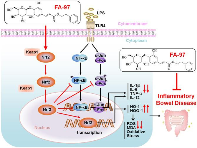 Proposed mechanistic model of FA-97 ameliorates DSS-induced colitis against oxidative stress by activating Nrf2/HO-1 pathway. Our findings demonstrated a scenario where FA-97 activates Nrf2 and promotes its nuclear translocation, on one hand increasing the expression of its downstream target proteins HO-1 and NQO-1, to reduce the ROS level and enhance the oxidant resistance, on the other hand inhibiting the NF-κB and AP-1 signaling to suppress the expression of pro-inflammatory cytokines (IL-1β, IL-6, TNF-α, and IL-12), and eventually meliorates inflammatory bowel disease.