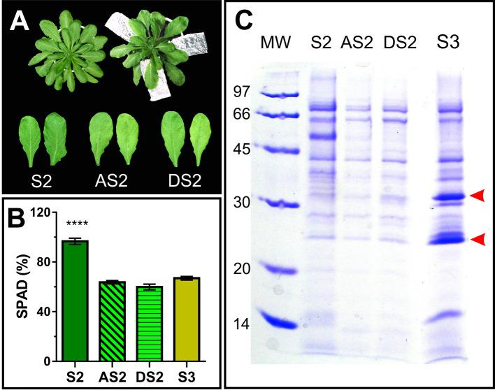 Dark induced senescence of S2 leaves. (A) Attached S2 leaves (AS2) were wrapped in aluminum foil, and detached S2 leaves (DS2) were placed on moist filter paper in dark boxes, until their chlorophyll content reached S3 values ( Figure 1 ). (B) Leaf chlorophyll content was measured non-destructively with the SPAD meter in different leaves, each of them represents a biological sample (n). S2: n = 29, AS2: n = 22, DS2: n = 5, S3: n = 18. For each biological sample, two SPAD readings were taken. Asterisks represent statistical differences between S2 vs. AS2, DS2 and S3 SPAD values (Dunnett's multiple comparisons test). (C) SDS-PAGE of AF from S2, dark induced attached and detached S2 (AS2 and DS2, respectively) and S3 leaves, compared per leaf area. Arrowheads show AF S3- associated bands.