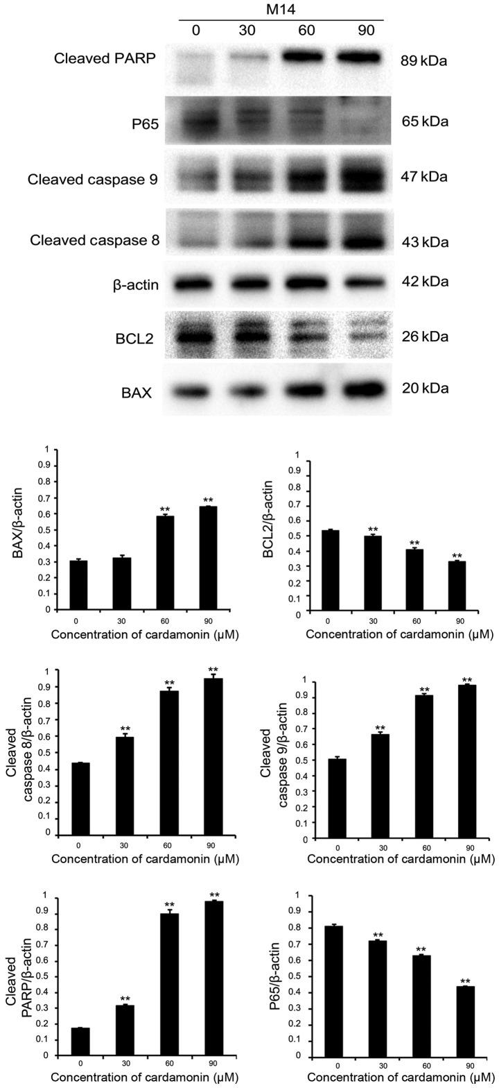 Protein expression of Bax, BCL2, cleaved caspase-8, cleaved caspase-9, cleaved PARP, nuclear factor-κB p65 in M14 cell line detected by western blot analysis. β-actin was used as an internal control. The levels of different proteins were quantified and normalized to β-actin and are shown in a histogram. Significance levels between distinct groups were determined using one-way analysis of variance. **P≤0.01 vs. the control. PARP, poly (ADP-ribose) polymerase; BCL2, B-cell lymphoma-2.