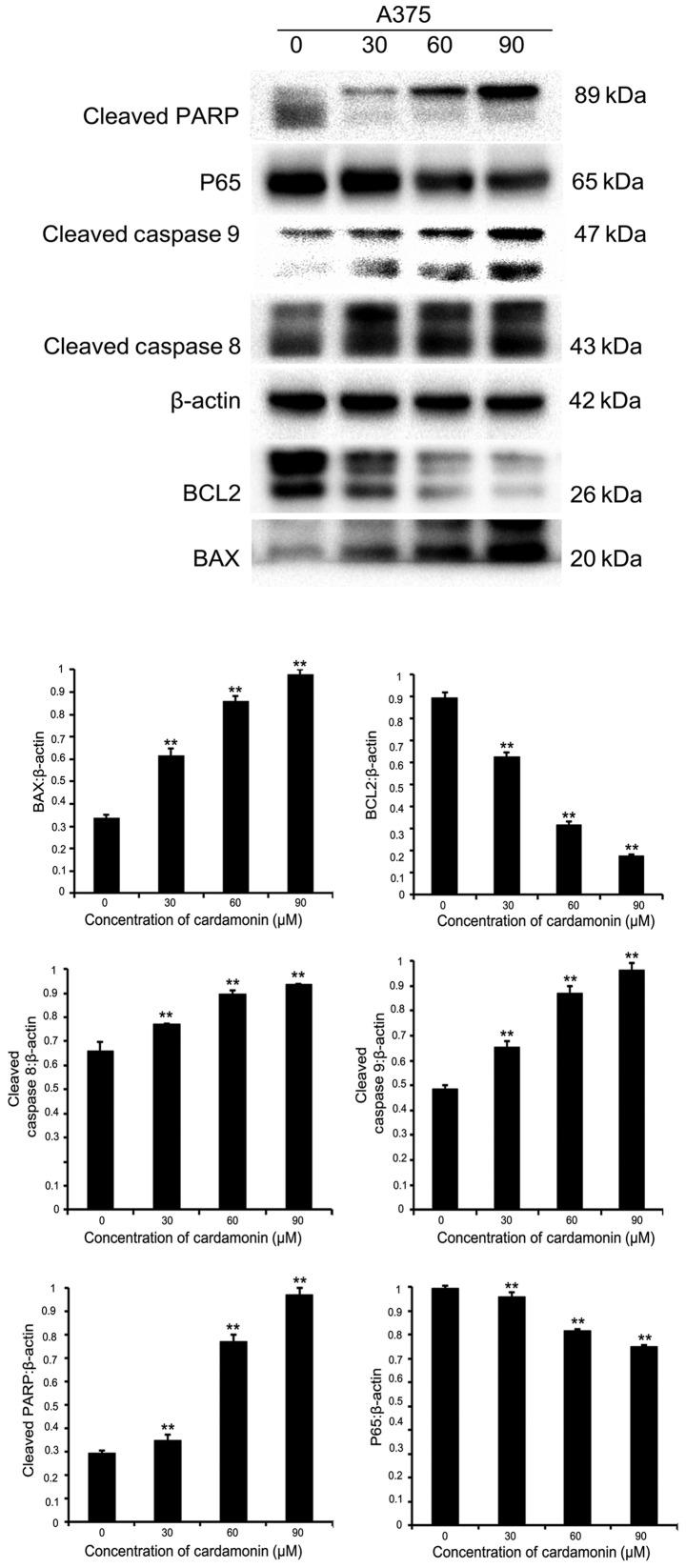Protein expression of Bax, BCL2, cleaved caspase-8, cleaved caspase-9, cleaved PARP, NF-κB p65 in A375 cell line is detected by western blot analysis. β-actin was used as an internal control. Significance levels between distinct groups were determined using one-way analysis of variance. **P≤0.01 vs. the control. PARP, poly (ADP-ribose) polymerase; BCL2, B-cell lymphoma-2.