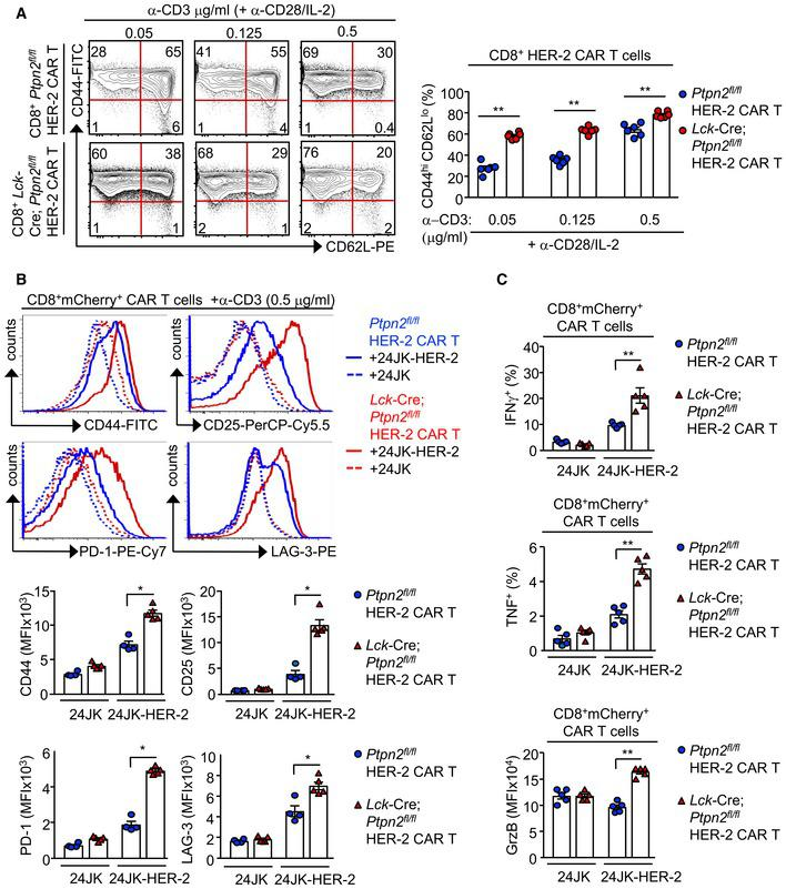 PTPN2 deficiency enhances the generation and the antigen‐induced activation of CAR T cells Ptpn2 fl / fl versus Lck ‐Cre; Ptpn2 fl / fl HER‐2 CAR T cells were generated with varying concentrations of α‐CD3 (0.05, 0.125 and 0.5 μg/ml) in the presence of α‐CD28 (0.5 μg/ml) and IL‐2 (2 ng/ml). After 6 days in culture, the generation of effector/memory (CD44 hi CD62L lo ) CD8 + HER‐2 CAR T cells was determined by flow cytometry. Ptpn2 fl / fl versus Lck ‐Cre; Ptpn2 fl / fl HER‐2 CAR T cells were incubated with HER‐2‐expressing 24JK sarcoma cells (24JK‐HER‐2) and HER‐2‐negative 24JK sarcoma cells. (B) CD44, CD25, PD‐1 and LAG‐3 MFIs, (C) the proportion of CD8 + IFNγ + versus CD8 + TNF + CAR T cells and GrzB mean fluorescence intensity (MFI) were determined by flow cytometry. Data information: Significance in (A–C) was determined using 2‐tailed Mann–Whitney U ‐test. * P
