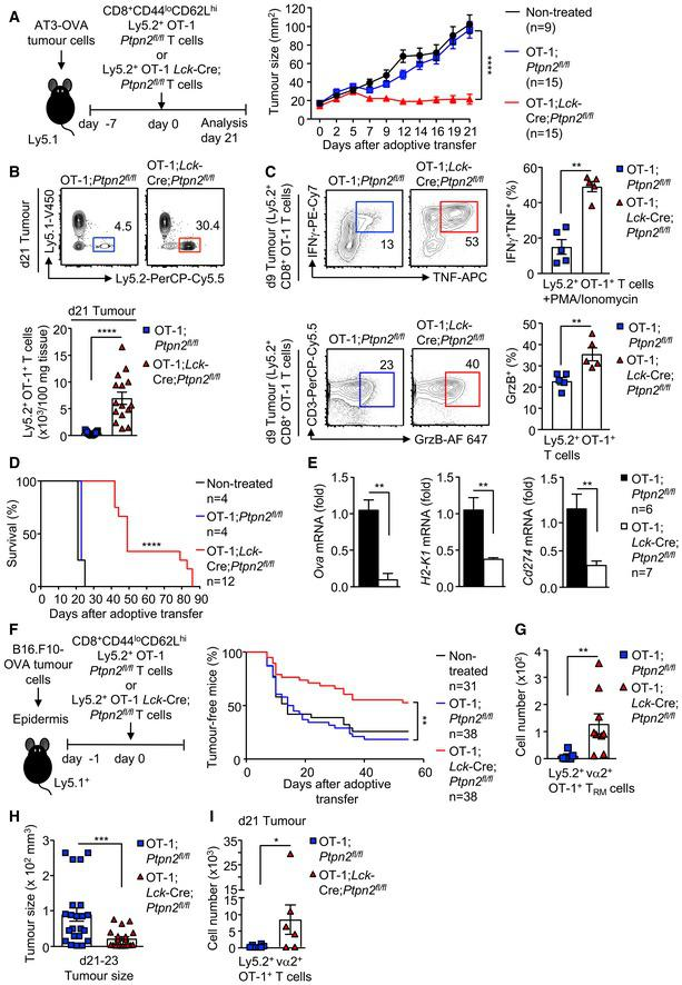 PTPN2 deletion enhances CD8 + T‐cell‐mediated immunosurveillance AT‐3‐OVA mammary tumour cells (1 × 10 6 ) were injected into the fourth inguinal mammary fat pads of female Ly5.1 + mice. Seven days after tumour injection, FACS‐purified 2 × 10 6 naïve CD8 + CD44 lo CD62L hi lymph node T cells from Ly5.2 + ;OT‐1; Ptpn2 fl / fl versus Ly5.2 + ;OT‐1; Lck ‐Cre; Ptpn2 fl / fl mice were adoptively transferred into tumour‐bearing Ly5.1 + mice. Tumour‐bearing Ly5.1 + mice were monitored for (A) tumour growth over 21 days and (D) for survival over 86 days. (B) After 21 days, TILs were processed for flow cytometry and donor T‐cell numbers (Ly5.1 − Ly5.2 + ) determined. (C) After 9 days, the proportion of Ly5.2 + IFNγ + TNF + versus Ly5.2 + GrzB + TILs was determined. Gene expression in tumours from mice treated with Ly5.2 + ;OT‐1; Ptpn2 fl / fl T cells 21 days post‐adoptive transfer versus those re‐emerging in mice treated with Ly5.2 + ;OT‐1; Lck ‐Cre; Ptpn2 fl / fl T cells. B16.F10‐OVA melanoma cells (1 × 10 5 ) were engrafted onto the abraded skin in the flanks of Ly5.1 + mice. 24 h after tumour cell engraftment, naïve CD8 + CD44 lo CD62L hi lymph node T cells from Ly5.2 + ;OT‐1; Ptpn2 fl / fl versus Ly5.2 + ;OT‐1; Lck ‐Cre; Ptpn2 fl / fl mice were adoptively transferred and tumour incidence monitored. (G) Epidermal lymphocytes from tumour‐free mice were stained for CD69 hi CD103 hi and donor‐derived (Ly5.2 + vα2 + ) tissue‐resident memory T cells (T RMs ) determined by flow cytometry. (H) Tumour sizes in B16.F10‐OVA melanoma bearing mice were determined between days 21 and 23. (I) TILs were assessed for Ly5.2 + ;OT‐1; Ptpn2 fl / fl and Ly5.2 + ;OT‐1; Lck ‐Cre; Ptpn2 fl / fl donor T‐cell numbers by flow cytometry. Data information: Representative flow cytometry profiles and results (means ± SEM) from at least two independent experiments are shown. In (A), significance was determined using 2‐way ANOVA test and in (B, C, E, G, H, I) significance determined using 2‐tailed Mann–Whitney U ‐test. In (D, F), significance was determined using log‐rank (Mantel–Cox) test. * P