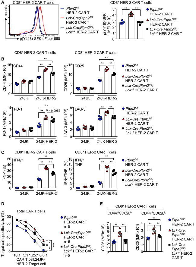 PTPN2 deletion enhances the LCK‐dependent activation of CAR T cells CD8 + HER‐2 CAR T cells generated from Ptpn2 fl / fl versus Lck ‐Cre; Ptpn2 fl / fl versus Lck ‐Cre; Ptpn2 fl / fl ; Lck +/− splenocytes were stained for intracellular p(Y418)‐SFK, and p(Y418)‐SFK MFIs were determined by flow cytometry. HER‐2‐specific Ptpn2 fl / fl versus Lck ‐Cre; Ptpn2 fl / fl versus Lck ‐Cre; Ptpn2 fl / fl ; Lck +/− CAR T cells were incubated with HER‐2‐expressing 24JK sarcoma cells (24JK‐HER‐2) or HER‐2‐negative 24JK sarcoma cells, and CD44, CD25, PD‐1 and LAG‐3 MFIs on CD8 + CAR T cells were determined by flow cytometry. Ptpn2 fl / fl , Lck ‐Cre; Ptpn2 fl / fl or Lck ‐Cre; Ptpn2 fl / fl ; Lck +/− HER‐2 CAR T cells were incubated with 24JK‐HER‐2 or 24JK sarcoma cells and the proportion of CD8 + IFNγ + versus CD8 + IFNγ + TNF + CAR T cells determined by flow cytometry. Ptpn2 fl / fl , Lck ‐Cre; Ptpn2 fl / fl or Lck ‐Cre; Ptpn2 fl / fl ; Lck +/− HER‐2 CAR T cells were incubated with 5 μM CTV‐labelled (CTV bright ) 24JK‐HER‐2 and 0.5 μM CTV‐labelled (CTV dim ) 24JK sarcoma cells. Antigen‐specific target cell lysis was monitored for the depletion of CTV bright 24JK‐HER‐2 cells by flow cytometry. HER‐2‐specific Ptpn2 fl / fl , Lck ‐Cre; Ptpn2 fl / fl and Lck ‐Cre; Ptpn2 fl / fl ; Lck +/− CAR T cells were incubated with plate‐bound α‐CD3 and CD25 MFIs on CD8 + CD44 hi CD62L lo versus CD8 + CD44 hi CD62L hi CAR T cells determined by flow cytometry. Data information: Representative histograms and results (means ± SEM) from at least two independent experiments are shown. In (A–C, E) significance determined using 2‐tailed Mann–Whitney U ‐test. In (D), significance was determined using 2‐way ANOVA test. * P