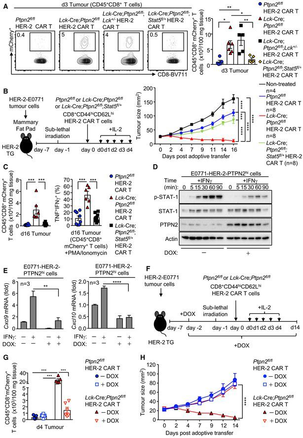 PTPN2 deficiency enhances CAR T‐cell efficacy in vivo by promoting STAT‐5‐mediating homing to CXCL9/10‐expressing tumours HER‐2‐E0771 mammary tumours cells (2 × 10 5 ) were injected into the fourth inguinal mammary fat pads of female HER‐2 TG mice. Six days after tumour injection, HER‐2 TG mice received total body irradiation (4 Gy) followed by the adoptive transfer of 6 × 10 6 FACS‐purified CD8 + CD62L hi CD44 hi central memory HER‐2 CAR T cells generated from Ptpn2 fl / fl , Lck ‐Cre; Ptpn2 fl / fl , Lck ‐Cre; Ptpn2 fl / fl ; Stat5 fl /+ or Lck ‐Cre; Ptpn2 fl / fl ; Lck +/− splenocytes. Mice were injected with IL‐2 (50,000 IU/day) on days 0–4 after adoptive CAR T‐cell transfer and (B) monitored for tumour growth. (A, C) Lymphocytes were isolated from the tumours on (A) day 3 or (C) day 16 post‐adoptive transfer, and mCherry + CD45 + CD8 + CAR T‐cell numbers were determined by flow cytometry. In (C), TILs were stained for intracellular IFNγ and TNF after PMA/ionomycin treatment. HER‐2‐E0771 cells generated to inducibly overexpress PTPN2 in response to doxycycline (E0771‐HER‐2‐PTPN2 hi ) were pre‐incubated (24 h) with vehicle or doxycycline (DOX) subsequently stimulated with IFNγ for the indicated times. STAT‐1 Y701 phosphorylation (p‐STAT‐1) and PTPN2 levels were assessed by immunoblotting. Cxcl9 and Cxcl10 mRNA levels in vehicle versus DOX‐treated and IFNγ‐stimulated HER‐2‐E0771 cells were assessed by quantitative real‐time PCR. E0771‐HER‐2‐PTPN2 hi mammary tumour cells (2 × 10 5 ) were injected into the fourth inguinal mammary fat pads of female HER‐2 TG mice. Five days after tumour injection, mice were administered vehicle or DOX in drinking water followed by irradiation (4 Gy) on day 6 and the adoptive transfer of 6 × 10 6 FACS‐purified central memory Ptpn2 fl / fl versus Lck ‐Cre; Ptpn2 fl / fl HER‐2 CAR T cells. Mice were then injected with IL‐2 (50,000 IU/day) on days 0–4 post‐adoptive CAR T‐cell transfer, and (H) tumour growth was monitored. In (G), CD45 + CD8 + mCherry + TILs were quantified by flow cytometry at day 4 post‐adoptive transfer. Data information: Representative flow cytometry profiles and results (means ± SEM) from two independent experiments are shown. In (A, E), significance was determined using 1‐way ANOVA test. In (B, G, H), significance was determined using 2‐way ANOVA test. In (C), significance was determined using 2‐tailed Mann–Whitney U ‐test. * P