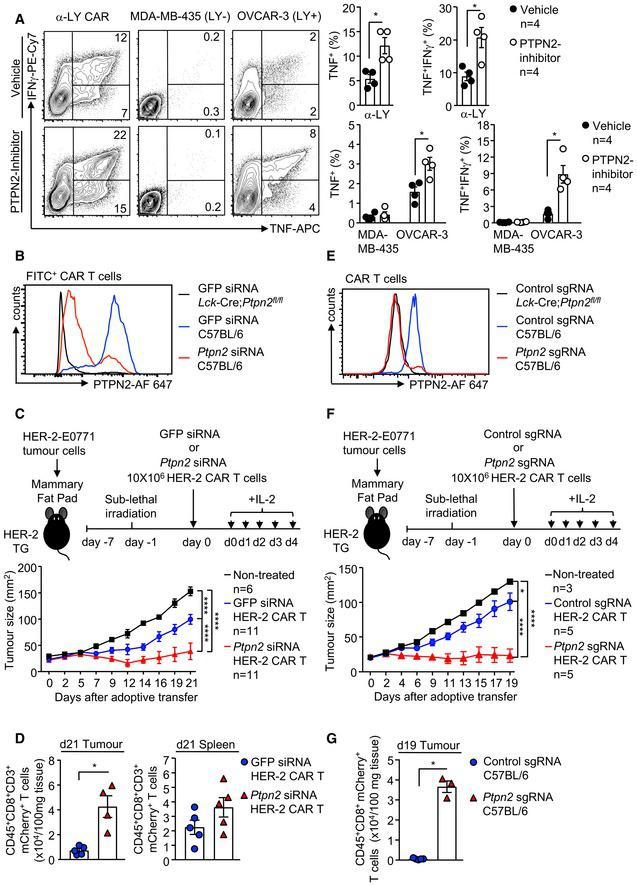 PTPN2 targeting enhances murine and human CAR T‐cell responses CD8 + LY CAR T cells generated from human PBMCs were treated with PTPN2‐inhibitor (+) or vehicle (−) followed by incubation with plate‐bound α‐LY, LY‐negative MDA‐MB‐435 cells and LY‐expressing OVCAR‐3 cells. The proportion of IFNγ + versus IFNγ + TNF + CD8 + CAR T cells was determined by flow cytometry. HER‐2 CAR T cells generated from C57BL/6 and Lck ‐Cre; Ptpn2 fl / fl splenocytes were transfected with GFP versus Ptpn2 siSTABLE™ FITC‐conjugated siRNAs, and intracellular PTPN2 levels were determined by flow cytometry. HER‐2‐E0771 mammary tumour cells (2 × 10 5 ) were injected into the fourth inguinal mammary fat pads of female HER‐2 TG mice. Six days after tumour injection, HER‐2 TG mice received total body irradiation (4 Gy) followed by the adoptive transfer of 10 × 10 6 HER‐2 CAR T cells generated from C57BL/6 splenocytes transfected with GFP versus Ptpn2 siSTABLE™ FITC‐conjugated siRNAs 2 days before adoptive CAR T‐cell transfer. Mice were injected with IL‐2 (50,000 IU/day) on days 0–4 after adoptive CAR T‐cell transfer, and (C) tumour growth was monitored. (D) CD45 + CD3 + CD8 + mCherry + CAR T cells numbers were determined in HER‐2‐E0771‐positive tumours and spleens by flow cytometry 21 days post‐adoptive transfer. HER‐2 CAR T cells generated from C57BL/6 and Lck ‐Cre; Ptpn2 fl / fl splenocytes were transfected with Cas9 and control or Ptpn2 sgRNAs using the Lonza 4D‐Nucleofector and after 2 days intracellular PTPN2 levels determined by flow cytometry. HER‐2‐E0771 mammary tumour cells (2 × 10 5 ) were injected into the fourth inguinal mammary fat pads of female HER‐2 TG mice. Six days after tumour injection, HER‐2 TG mice received total body irradiation (4 Gy) followed by the adoptive transfer of 10 × 10 6 control HER‐2 CAR T cells or those in which PTPN2 had been deleted by CRISPR RNP. Mice were injected with IL‐2 (50,000 IU/day) on days 0–4 post‐adoptive CAR T‐cell transfer and (F) tumour growth monitored. (G) CD45 + CD8 + mCherry + CAR T‐cell numbers were determined in HER‐2‐E0771 tumours by flow cytometry 19 days post‐adoptive transfer. Data information: Representative flow cytometry profiles and results (means ± SEM) from two independent experiments are shown. In (A, D, G), significance was determined using 2‐tailed Mann–Whitney U ‐test. In (C, F), significance was determined using 2‐way ANOVA test. * P