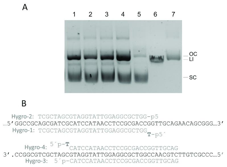 Effects of CbcAgo on dsDNA. ( A ) CbcAgo was pre-loaded for 15 min at 37ºC with the Hygro-1 to 4 guides (lanes 1 to 4) and incubated for 16 hours at the same temperature with plasmid pMH184 that was essentially supercoiled (lane 5, SC). Linear plasmid (LI) and nicked open circle (OC) were run in lanes 6 and 7 respectively. The molar ratio between CbcAgo:guide:target was 3 μM: 6 μM: 0.0074 μM. Reactions were stopped by adding 100 μg/mL of Proteinase K (Promega) and the products separated in agarose gels. ( B ) Sequence of the target in plasmid pMH184 paired with the gDNAs used in panel A .