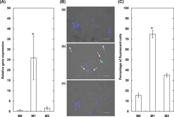 (A) The relative miRNA 155–5p expression of RAW264 before (M0) and after the stimulation with pro-inflammatory (M1) or anti-inflammatory agents (M2) (B) The representative fluorescent images of RAW264 before (a) and after the stimulation with pro-inflammatory (b) or anti-inflammatory agents (c). The RAW264 were cultured for 3h with MB-gelatin NS (30μg/ml) 24h after the stimulation. The nucleus are stained in blue, while the MB interacted with miRNA 155–5p emits in green. The arrows indicate the cells which emit the fluorescence derived from MB. The size of scale bar is 50μm (C) Percentage of MB-derived fluorescent cells which are not stimulated (M0) or stimulated with pro-inflammatory (M1) or anti-inflammatory agents (M2). The RAW264 were cultured for 3h with MB-gelatin NS (30μg/ml) 24h after the stimulation. *, p