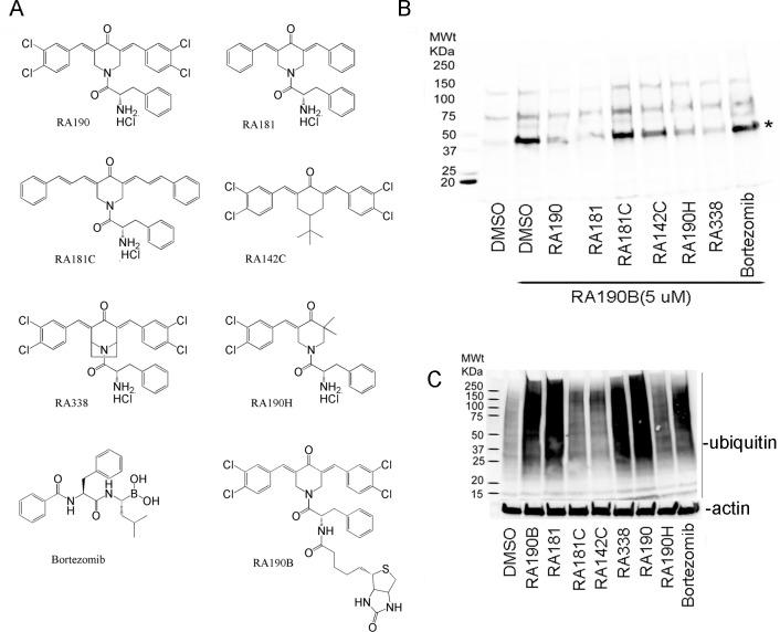 Probing requirements to bind a 42kDa cellular target and accumulate high molecular weight polyubiquitinated proteins. (A) Chemical structures of candidate inhibitors. (B) Precleared ES2 cell lysate was incubated with compounds (20 μM) or vehicle (DMSO, 1:100) for 45 min and then with RA190B (5 μM) for 45 min at 4°C. Samples were subjected to SDS-PAGE, transfer to PVDF membrane, and after probing with HRP-streptavidin, binding was detected using chemiluminescence. (C) ES2 cells were treated with compounds (1 μM, 4 hr), lysed and the samples probed with ubiquitin or actin-specific antibody by Western blot.