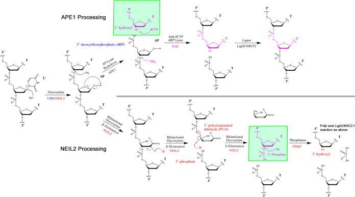 Reaction mechanisms for the APE1 and NEIL2-PNKP pathways. Glycosylase UDG removes U and generates an AP site on U/G mismatch (only top strand is shown). For the APE1 pathway, APE1 hydrolyzes the deoxyribose-phosphate backbone and generates a 5'-deoxyribophosphate (5'dRP) and a 3'-hydroxyl (3'OH). DNA Polymerase β (Polβ) adds a C to the 3'OH and removes the 5'dRP. For the NEIL2-PNKP pathway, NEIL2 catalyzes β,δ-elimination step by step at the AP site and generates a 5'-phosphate (5'P) and a 3'P. PNKP phosphatase hydrolyzes 3'P to generate a 3'OH primer for Polβ.
