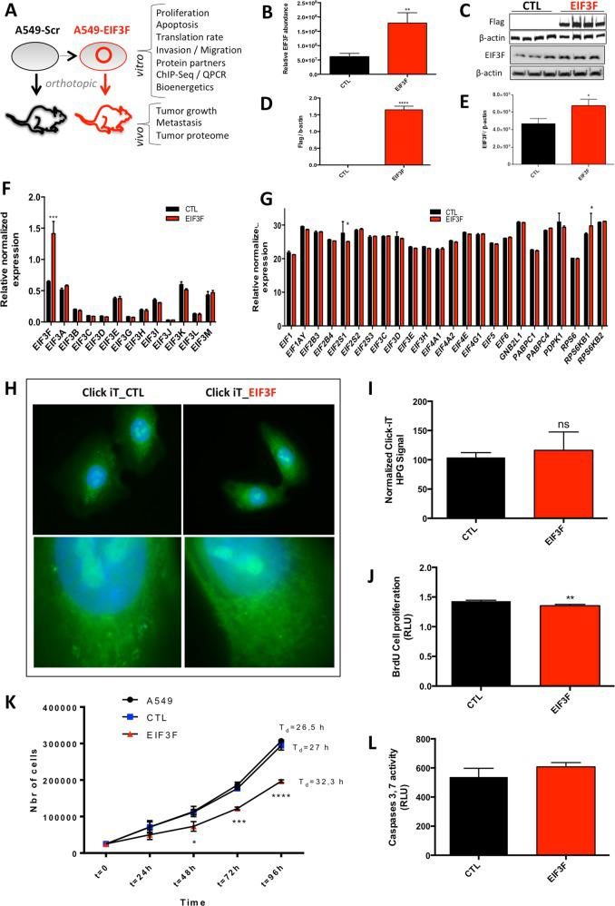 EIF3F overexpression alters A549 human lung cancer cells proliferation. a Study workflow including in vitro and in vivo analyses of A549 cells overexpressing EIF3F. b Verification of the ectopic expression of EIF3F in A549 human lung adenocarcinoma cells using quantitative proteomics ( N = 3) and c – e immunoblot analysis of the M2-FLAG and EIF3F protein expression level in control and EIF3F cells. β-actin was used as loading control for EIF3F expression quantification ( N = 3 and N = 4, respectively). f EIF3 complex subunits expression was determined by qPCR ( N = 3). g Expression of PIC (pre initiation complex) components was analyzed using qPCR ( N = 3). h The global rate of protein synthesis was assessed by immunostaining of HPG Alexa Fluor® 488 ( N = 10) and i corresponding quantification. L-homopropargylglycine (HPG) is an amino acid analog of methionine containing an alkyne moiety and Alexa Fluor® 488. The HPG is fed to cultured cells and incorporated into proteins during active protein synthesis. j Cell proliferation rate was determined using the BrdU incorporation assay ( N = 12). k Growth curves of A549, CTL-A549, and EIF3F-A549 cells were obtained by performing cell enumeration studies ( N = 6). l Apoptosis was investigated by measuring caspases 3 and 7 activities using a fluorescent substrate ( N = 4). All data were expressed as mean ± SEM from 'n' independent cell cultures. * P