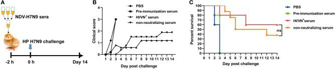 "Passive transfer challenge study of non-neutralizing sera. (A) Schematic illustration for the serum transfer experiment. (B) Clinical scoring and (C) survival of chickens after H7N9 virus infection. ""ns"" in (C) indicates non-significant difference."