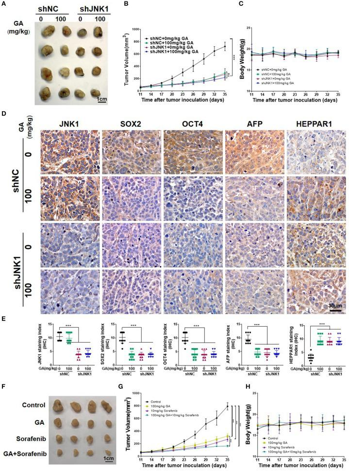GA suppresses tumor growth and enhances the antitumor effect of sorafenib. Images of tumors (A) , tumor volumes (B) , and body weight (C) of PLC/PRF/5 transfected with shNC or shJNK1 in BALB/c nu/nu mice treated with 100 mg/kg GA or saline as control. (D) IHC staining indicates the expression of CSC markers (SOX2 and OCT4) and differentiation markers (AFP and HEPPAR1) in tumors. (E) IHC analysis of SOX2, OCT4, AFP, and HEPPAR1 in tumors (one-way ANOVA; *** P