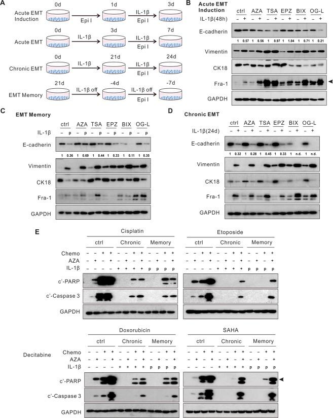 "Blockade of epigenetic modifications restores E-cadherin expression and cellular sensitivity to chemotherapy in EMT memory. ( A ) A schematic diagram of the experimental design. ( B ) Pre-treatment of TSA and EPZ prevented E-cadherin downregulation upon the acute IL-1β exposure. ( C ) AZA treatment restored E-cadherin expression in EMT memory. ( D ) Epigenetic inhibitors did not alter E-cadherin expression in chronic EMT. ( E ) Apoptosis markers were evaluated in chronic EMT and EMT memory following the combination of AZA and chemotherapy agents. Quantification of E-cadherin expression was normalized to samples without IL-1β exposure. Epi I, epigenetic inhibitors. AZA, 5′-azacytidine-2′-deoxycytidine (decitabine), DNA methyltransferase inhibitor; TSA, pan HDAC inhibitor; EPZ, EPZ-6438, EZH2 inhibitor; BIX, BIX01294, G9a inhibitor; OG-L, OG-L002, LSD1 inhibitor. ""p"", previously treated with IL-1β. ""n.d."", non-detectable. See also Fig. S6 ."