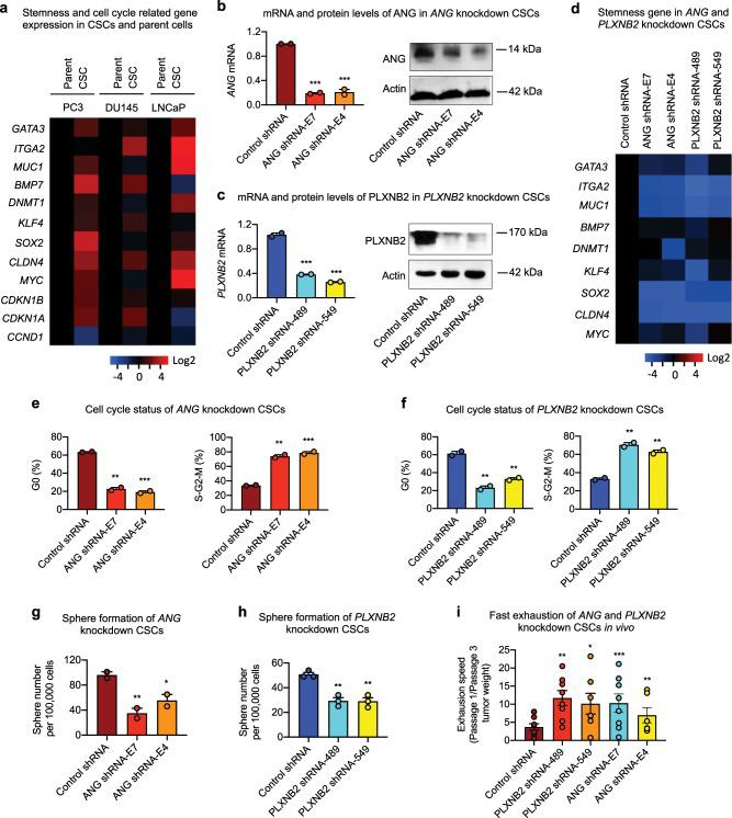 Knockdown of ANG or PLXNB2 decreases stemness of prostate CSCs. a mRNA levels of cancer stemness-related genes in prostate CSCs and parent cells ( n = 5). Values in the CSCs were normalized to the respective parent cells. mRNA and protein levels of ANG ( b ) and PLXNB2 ( c ) in knockdown CSCs. mRNA levels were determined by qRT-PCR and normalized to control shRNA transfectants ( n = 3). Protein levels were determined by immunoblotting. d mRNA level of cancer stemness-related genes in ANG and PLXNB2 knockdown CSCs ( n = 3). Values were normalized to the control shRNA transfectants. Cell cycle status of ANG ( e ) and PLXNB2 ( f ) knockdown CSCs, analyzed by flow cytometry after Ki-67 and 7-AAD staining ( n = 2). Sphere formation of ANG ( g ) and PLXNB2 ( h ) knockdown CSCs ( n = 3). i CSC exhaustion during serial passaging in vivo. Cells were passaged in NSG mice ( n = 5–8) for three times. In each passage, 100,000 cells were inoculated per mouse. Tumors were excised and weighed 4 weeks post inoculation in each passage. Exhaustion rate was calculated as the ratio of tumor weight from first passage to third passage. * p