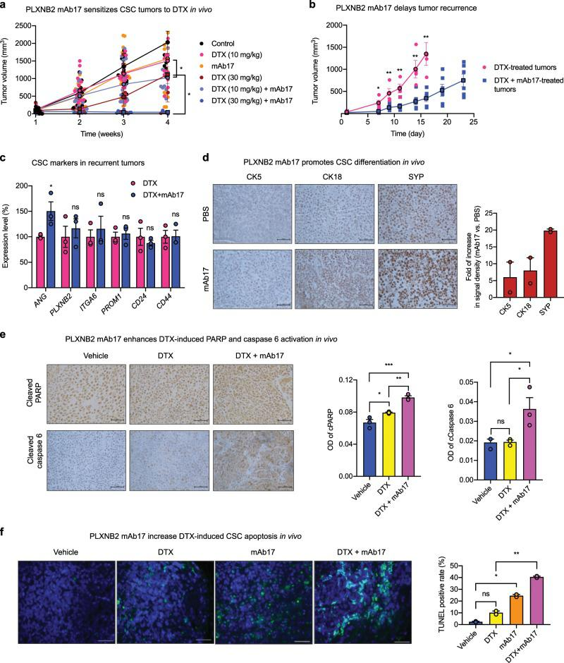 Effect of ANG and PLXNB2 mAbs on chemo-sensitivity of CSC tumors. a PLXNB2 mAb sensitizes CSC tumors to DTX. NSG mice were inoculated with 100,000 CSCs, randomized into 6 groups ( n = 6–19) when tumor sizes reached ~100 mm 3 , and treated with PBS control ( n = 6), 4.8 mg/kg mAb17 ( n = 19), 10 mg/kg DTX ( n = 16), 30 mg/kg DTX ( n = 6), 10 mg/kg DTX + 4.8 mg/kg mAb17 ( n = 16), and 30 mg/kg DTX + 4.8 mg/kg mAb17 ( n = 10), by weekly i.p. injection. Tumor sizes were measured weekly. b Treatment was ceased on week 4. Animals bearing similar tumor sizes in the group of 30 mg/kg DTX (4 mice with an average tumor size of 34.4 ± 5.6 mm 3 ) and in the group of 30 mg/kg DTX + 4.8 mg/kg mAb17 (6 mice with an average tumor size of 22.2 ± 8.3 mm 3 ) were observed for tumor growth for another 23 days. c mRNA levels of ANG , PLXNB2 , and representative CSC markers in recurrent tumors determined by qRT-PCR ( n = 3). Values were normalized to the average of the DTX group. d IHC staining of CK5, CK18, and SYP in CSC xenograft tumor tissues treated with PBS or mAb17 ( n = 2). Scale bar: 50 μm. e IHC of cleaved PARP and cleaved caspase 6 in CSC xenograft tumor tissues treated with PBS, 30 mg/kg DTX, and 30 mg/kg DTX + 4.8 mg/kg mAb17 ( n = 3). Scale bar: 50 μm. f Apoptotic cells detected by TUNEL assay in CSC xenograft tumor tissues treated with DTX (30 mg/kg), mAb17 (4.8 mg/kg), or both. Scale bar: 100 μm. TUNEL positive cells were counted in a total of 200 cells in each sample ( n = 2). * p