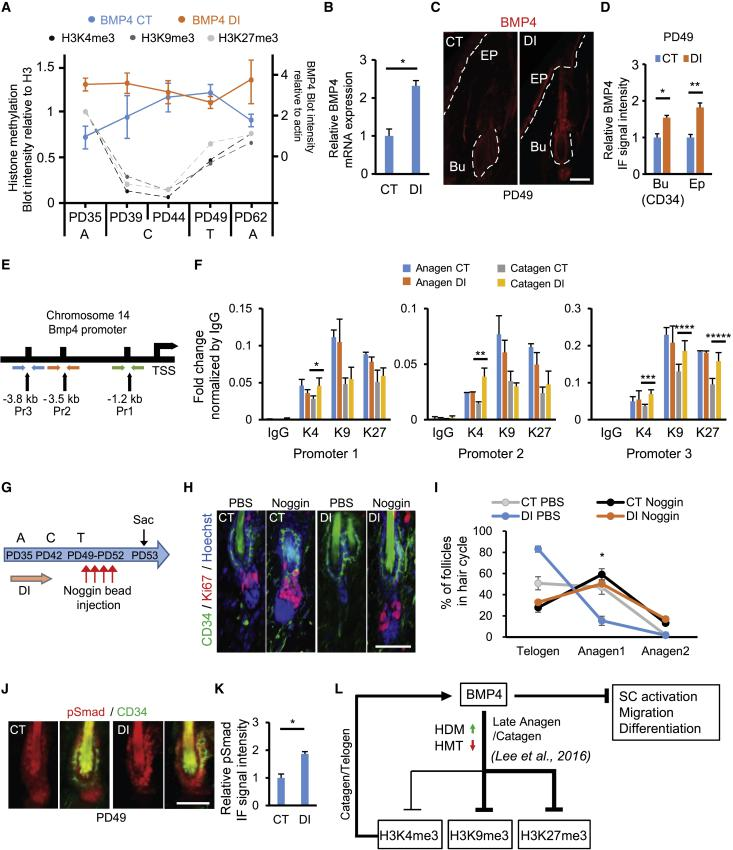 BMP4 Expression Is Increased by Blocking Hypomethylation at Late Anagen/Catagen (A) Intensity graph of BMP4 normalized by β-actin of CT-treated (blue) or DI-treated (red) mice at late Anagen/Catagen extracted from western blots in Figure S5 A at the ages and stages indicated. N = 2 for PD35; N = 3 for other ages. A, Anagen; C, Catagen; T, Telogen. Corresponding histone methylation levels normalized by H3 of CT-treated mice total skin at various ages are shown in gray and were extracted from Lee et al. (2016) . Note the decrease in histone methylation level from Anagen to Catagen transition, accompanied by an increase in BMP4 levels. From Catagen to Telogen, histone methylation and BMP4 levels positively correlate, while from Telogen to Anagen, methylation continues to increase while BMP4 levels decrease. (B) Gene expression analysis of Bmp4 mRNA in CT- or DI-treated total back skin. N = 3 of biological replicates; ∗ p = 0.018. (C) Skin sections immunostained with BMP4 show expression of BMP4 in bulge and epidermis with apparent increase in DI-treated skin. Bu, bulge; Ep, epidermis. (D) BMP4 fluorescence signal quantification in the bulge (CD34+ cells) and the basal layer cells as shown in Figure S5B. N = 3; ∗ p = 0.022, ∗∗ p = 0.003. Bu, bulge; Ep, epidermis. (E) Scheme of the Bmp4 promoter region with three primer sets upstream of the transcription start site (TSS) used for the P experiment of CT- or DI-treated skin. (F) ChIP signal fold change of Bmp4 promoter regions 1, 2, and 3 shown in (E). ∗ p = 0.047, ∗∗ p = 0.012, ∗∗∗ p = 0.029, ∗∗∗∗ p = 0.017, ∗∗∗∗∗ p = 0.04; N = 2 for Anagen (PD35) samples, N = 3 for Catagen (PD39) samples. The samples that were used for the ChIP experiments were the total skin samples of biological replicates after applying DI or control vehicles (CT). (G) Scheme of the NOGGIN-coated bead injection experiment after applying DI. (H) Skin sections immunostained with CD34 and Ki67 from mice sacrificed at PD53 after injecting NOGGIN in DI-treated skin. (I) Quantification of the HFs in each hair cycle from (H). N = 3; ∗ p = 0.014. (J) Skin sections immunostained with CD34 and pSMAD1, 5, 9 at PD49 after applying DI at PD35-42. (K) Quantification of fluorescence signals of pSMAD1, 5, 9 in the bulge (CD34+ cells) as shown in (J). N = 3; ∗ p = 0.004. (L) Working model describing histone methylation level crosstalk with BMP4. Student's t test was used for all significance test. All experiments were executed twice. Scale bars, 20 μm.