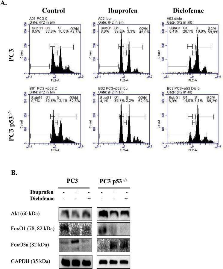 Ibuprofen and diclofenac caused cell cycle arrest and modulated AKT – FoxO signaling axis in both cell lines. (A) Wt and p53 + PC3 prostate cancer cells were treated for 24 h with ibuprofen (1 mM) or diclofenac (250 μM) (A). Cells were labeled with propidium iodide and analyzed by using a FACS flow cytometer (BD Accuri) for 10x10. The image shown is representative of two experiments. (B) 60 μg of whole cell lysate were loaded in 12% SDS–PAGE gels and probed with AKT, FoxO1, and FoxO3. GAPDH was used as loading control. Wt, wild type; SDS–PAGE, sodium dodecyl sulfate–polyacrylamide gel electrophoresis; FACS.