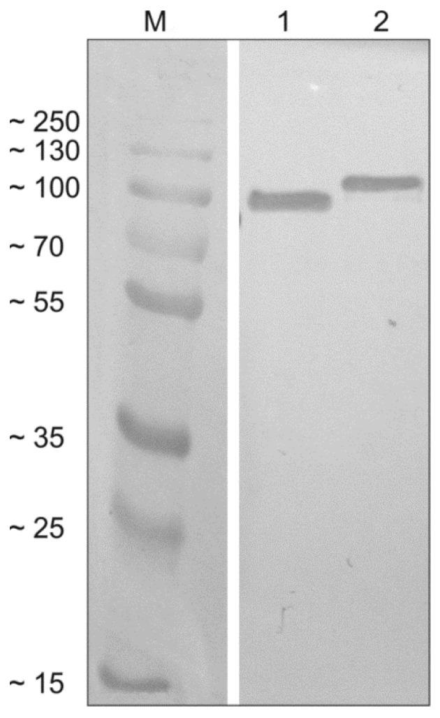 Western blot analysis of the tetravalent recombinant chimeric proteins. Recombinant proteins SAG1-MIC1-MAG1-GRA2 (SMMG; lane 1) and SAG2-GRA1-ROP1-GRA2 (SGRG; lane 2) were detected using specific anti-His antibodies and compared to the protein marker (M).