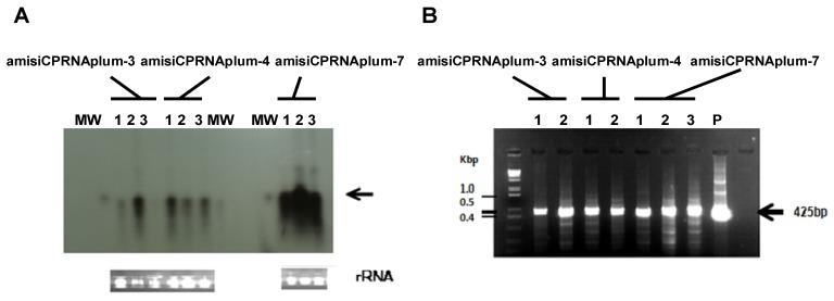 ( A ) Autoradiogram showing the accumulated RNAi detected in leaves of 3 different plants (Lanes 1 to 3) of each clone (amisiCPRNAplum-3, -4, and -7) challenged with PPV. 20 µg of total RNA was fractionated onto PAGE. Transferred onto membrane, RNAi was probed with a PPVCP probe labeled with α- 32P-dCTP. Lane MW represents the miRNA molecular weight marker (indicated by the arrow in the right margin) hybridized with a γ-32P-ATP miRNA probe. Ethidium bromide staining of rRNA was used as loading control (bottom panels). ( B ): Agarose gel showing the DNA methylation analysis of the virus CP transgene introduced in amisiCPRNAplums. Genomic DNA was extracted from leaves of 2 different plants (Lanes 1 and 2) of each clone (amisiCPRNAplum-3, -4) and 3 plants of the amisiCPRNAplum-7 challenged with PPV. After over-digestion of DNA with either the isoschizomer MboI (not shown) or the BFCuI restriction enzymes, the methylated status of the PPVCP cistron engineered in these clones was verified by PCR. With the use of a couple of primers (340FWD and 660REV, Table 1 ) flanking the two GATC sites potentially methylated, an amplicon of 425 bp (arrow in the right margin) indicates the expected band amplified, as got from the uncut DNA control (lane P, uncut pHellsgate-amisiCPRNA plasmid). Lane 1Kb DNA ladder (Invitrogen, Thermo Fisher Scientific, Waltham, MA, USA) represents the molecular weight markers in Kbp.