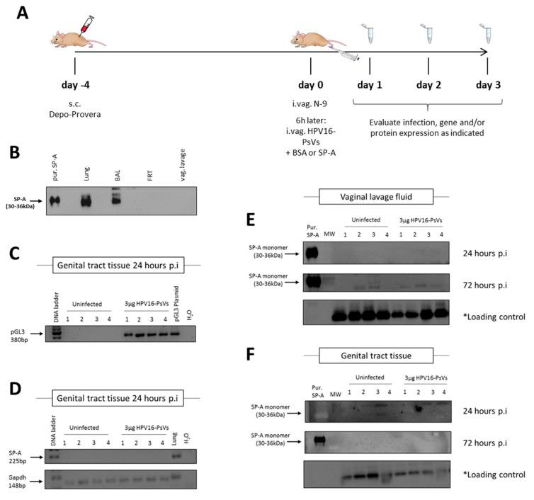 Infection of C57BL/6 mice with HPV16-PsVs does not alter SP-A expression. ( A ) Mouse model for HPV16-PsVs infection using C57BL/6 mice, adapted from Roberts et al., 2007 [ 8 , 37 ]. Briefly, 6–10 weeks old female wildtype C57/BL6 mice were injected with 2 mg Depo-Provera (s.c.) for 4 days, and then pre-treated with 25 µL 4% N-9 in 3% CMC i.vag. for 6 h prior to HPV16-PsVs infection. Six mice per group were i.vag. infected with 3 µg or 1 µg viral particles encapsidating the reporter gene firefly luciferase (pGL3-control) or Gaussia luciferase (pGLuc), respectively. After 1–3 days, tissues were harvested for analysis. ( B ) Western blot assessing SP-A expression in lung, bronchoalveolar lavage fluid (BAL), female reproductive tract (FRT) tissue, and vaginal lavage (vag. lavage) fluid of naïve wildtype C57BL/6 mice. 20 µg of each sample was loaded per lane, while 0. 5 µg of purified human SP-A protein was loaded as control. No endogenous SP-A was detected in the FRT of naïve mice. ( C ) Four mice per group were i.vag. infected with 3 µg HPV16-PsVs encapsidating the pGL3-control reporter plasmid. Genital tract tissue was harvested 24 h later and RNA extracted for gene expression analysis to confirm successful infection. ( D ) RNA from ( C ) was assessed for SP-A expression, with lung RNA used as positive control. Gapdh was used as a reference gene. ( E ) Four mice per group were i.vag. infected with 3 µg HPV16-PsVs. Vaginal lavages were performed 24 h and 72 h p.i. and assessed by Western Blot for the presence of SP-A. 20 µg of each sample was loaded per lane, while 0.5 µg purified human SP-A protein was loaded as control. * Loading control corresponds to a 45 kDa cellular protein that cross-reacts with the CamVir primary antibody [ 38 ]. ( F ) Four mice per group were i.vag. infected with 3 µg HPV16-PsVs and genital tract tissue was harvested 24 h or 72 h p.i., homogenised and assessed by Western blot for the presence of SP-A as described in (E).