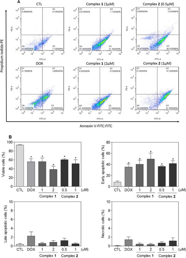 Effect of complexes 1 and 2 on apoptosis induction in HL-60 cells, as determined by flow cytometry using annexin V-FITC/propidium iodide staining after 24 h incubation. (A) Representative flow cytometric dot plots. (B) Quantification of viable (annexin V-FITC/PI double negative cells), early apoptosis (annexin V-FITC positive, but PI negative cells), late apoptosis (annexin V-FITC/PI double positive cells), and necrosis cells (PI positive, but annexin V-FITC negative cells). Negative control (CTL) was treated with vehicle (0.1% DMSO), and doxorubicin (DOX, 1 μM) was used as positive control. Data are presented as mean ± S.E.M. of three independent experiments performed in duplicate. Ten thousand events were evaluated per experiment, and cellular debris omitted from analysis. * P