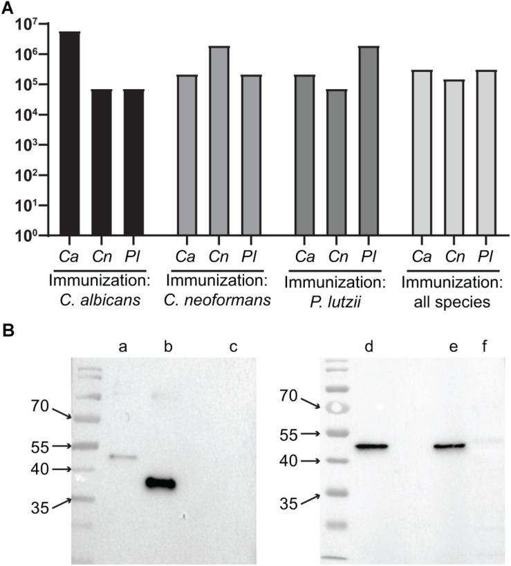 Heterospecific and homospecific antibodies to TRR1. (A) Titers of homospecific and heterospecific antibodies in animals immunized with TRR1. Each animal was immunized three times with TRR1 from a single species or with the protein from all three species, one at a time. Two months after the last injection their sera were collected and used in ELISA experiments in which the plates were coated with TRR1 from each of the three fungal species. Bars represent the titers of antibodies (IgA + IgG + IgM) against each one of those species. (B) Sera from mice that were immunized with all three fungal species in sequence were used in western blot experiments to detect binding to recombinant C. albicans (lane b ), C. neoformans (lanes a , d ), and P. lutzii (lane e ) TRR1 proteins, as well as the protein extract of the human cell line HEK293 (lanes c , f ).
