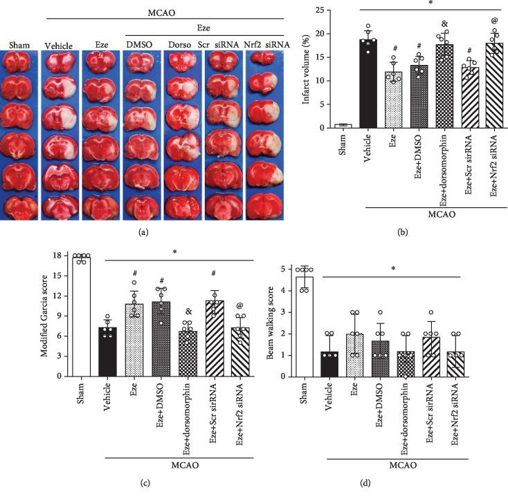 Dorsomorphin and Nrf2 siRNA reversed the neuroprotective effects of Eze after MCAO. (a) Representative image of TTC-staining brain slices, (b) quantified infarction volumes, (c) modified Garcia scores, and (d) beam walking scores at 24 h after MCAO. ∗ p