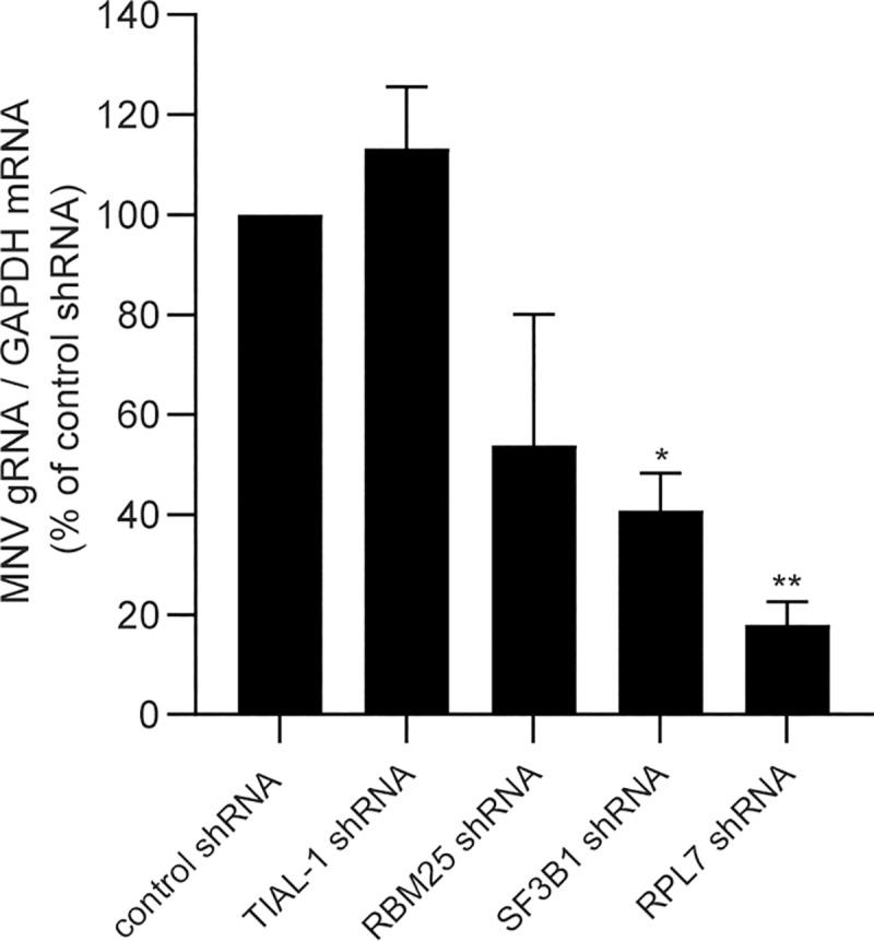 Silencing of the remodelled G3BP1 partners impacts on MNV replication. Transient silencing of factors interacting with G3BP1 in MNV-infected cells lead to a decreased viral replication. BV2 cells were transduced with lentiviral particles carrying shRNA coding sequence for 48h prior MNV infection at MOI 10 and total RNA extracted at t = 0 and 9h p.i. qRT-PCR results show the mean ± SD (n = 3) level of MNV genomic RNA at 9h p.i,. normalised by the level of GAPDH mRNA and presented as percentage of the control shRNA in cells silenced for TIAL-1, Rbm25, SF3B1 and RPL7. Statistical significance given above the bars, *, P