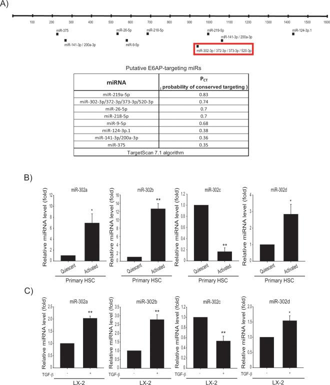 Decreased miR-302c level upon TGF-β treatment. ( A ) The locations of the predicted miRNA binding sites within the 3′-UTR of E6AP mRNA. ( B ) Real-time RT-PCR assays for the miR-302a/b/c/d-3p in quiescent or activated primary HSCs. Data were normalized against the levels of U6 small RNA. The data represents the mean ± SE ( n = 3, significant as compared with primary quiescent HSCs, * p