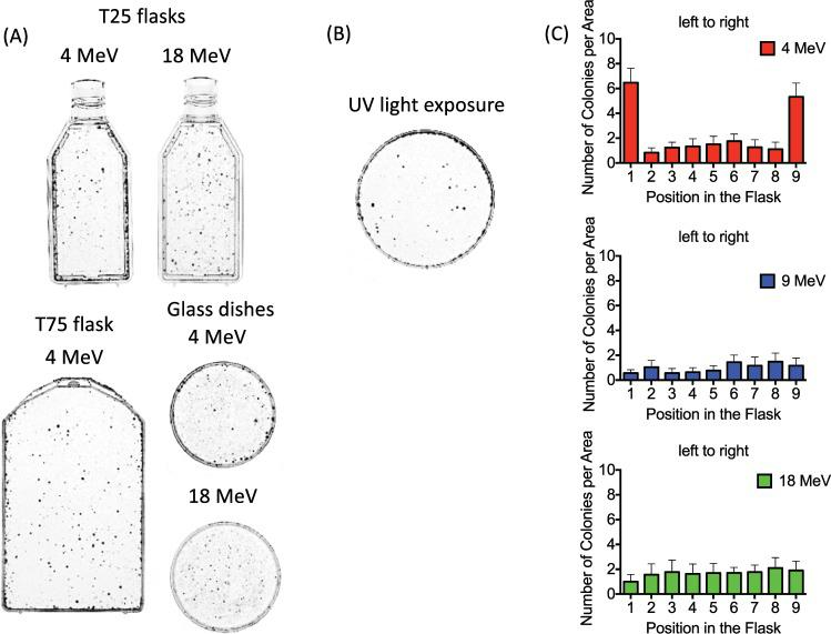 Analysis of colony distributions after 12 Gy at CSU. ( A ) Uneven colony distribution with increased survival near the wall of the flasks for 4 MeV compared to 18 MeV electron irradiation. 100,000 cells were plated to T25 flasks, T75 flask and glass dishes. ( B ) Increased colony survival near the edge of the 6 cm plastic dish after 25 J/m 2 of UV-C exposure. ( C ) Quantitative analysis of colony distribution using 4, 9, and 18 MeV. 100,000 cells were plated. Error bars indicate the standard error of the means for three independent experiments. Note the increased number of surviving colonies near the edges of the flask at 4 MeV.