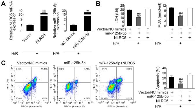 miR-125b-5p exerts inhibitory effects on hypoxia/reoxygenation-induced apoptosis of cardiomyocytes by suppressing NLRC5 expression. (A) The expression of NLRC5 and miR-125b-5p in hypoxia/reoxygenation-treated HL-1 cells were determined by reverse transcription-quantitative PCR after transfection of the cells with the vectors or mimics. (B) Levels of LDH and MDA in the culture supernatant were measured by assay kits. (C) The fluorescence-activated cell sorting analysis of cardiomyocyte apoptosis following transfection with NLRC5 and miR-125b-5p. The data are presented as the mean ± standard deviation (n=3). $$$ P