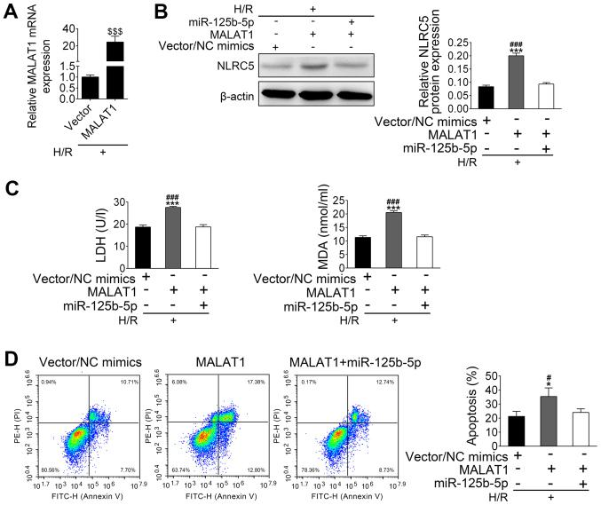 MALAT1 alleviates the protective effect of miR-125b-5p on hypoxia/reoxygenation-induced apoptosis of cardiomyocytes by upregulation of NLRC5. (A) mRNA levels of MALAT-1 in transfected and control cells were confirmed. (B) The expression of NLRC5 in transfected cell was confirmed by western blotting. (C) Levels of LDH and MDA in the culture supernatant were quantified using assay kits. (D) The fluorescence-activated cell sorting analysis of cardiomyocyte apoptosis in transfected HL-1 cells. The data are presented as the mean ± standard deviation (n=3). $$$ P
