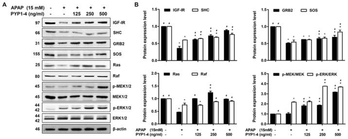 PYP1-4 restores the levels of Ras/Raf/ERK signaling pathway proteins in APAP-induced HepG2 cells. (A) HepG2 cells were incubated with 15 mM APAP with or without various concentrations of PYP1-4 for 18 h. The levels of Ras/Raf/ERK signaling pathway proteins (IGF-IR, SHC, GRB2, SOS, Ras, Raf, MEK and ERK) were determined by western blot analysis. (B) Bands were normalized to β-actin as an internal control, and the phosphorylated vs. total protein ratios were graphed. Data are presented as the mean ± SD of three independent experiments, and were subjected to two-way ANOVA. *P