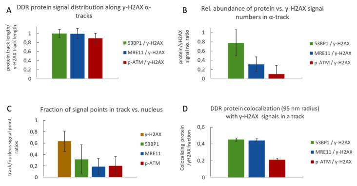 Quantitative analysis of γ-H2AX and 53BP1, MRE11 and p-ATM signals in damage tracks. ( A ) Relative frequency distribution of the DNA damage response (DDR) proteins along alpha tracks. The extension of a track was defined as the distance of the farthest signal points along the axis in a damage track signal number histogram (e.g., Figure 2 ). It appears that the average track length computed for γ-H2AX, 53BP1, MRE11 and p-ATM signals is similar, indicating that protein signals are distributed over the full extension of the damaged chromatin along the alpha particle trajectory. ( B ) Average ratios of DDR protein signal numbers relative to γ-H2AX signal numbers per average alpha track. In all experiments, γ-H2AX signal points were most frequent, followed in decreasing order by 53BP1 > MRE11 > p-ATM. ( C ) Ratio of signal point number abundance for γ-H2AX, 53BP1, MRE11 and p-ATM inside the average γ-H2AX alpha-track relative to signals over the nucleus. The signal numbers for γ-H2AX in different co-staining experiments were similar; thus, all γ-H2AX data were pooled for further single-color analyses. The average ratios of signal points detected inside the respective γ-H2AX damage track mask versus signal points detected over the whole nucleus show that most γ-H2AX signals are concentrated inside the damage track, which is less so for 53BP1, MRE11 and p-ATM. ( D ) Fraction of DDR protein signal points co-localizing with γ-H2AX signal points within a defined radius of 95 nm. 45% of 53BP1 and MRE11 signals in a track co-localize with γ-H2AX signals in a 95 nm radius, while only 21% of p-ATM signals showed co-localization. Error bars represent standard deviation.