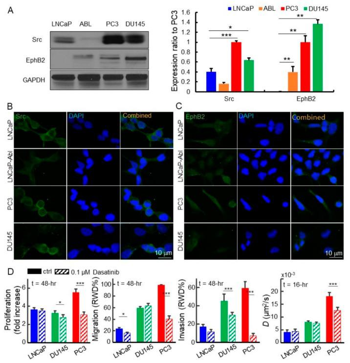 Dasatinib inhibits proliferation, migration, invasion, and EGFR diffusivity in advanced prostate cancer cells. ( A ) Src is highly upregulated in PC3 (2.5x) and DU145 (1.6x) as compared to LNCaP shown in Western blots. EphB2 is overexpressed in both PC3 and DU145. Both proteins are almost not expressed in LNCaP-Abl. ( B ) Src is present in these cell lines. There is an intense level of Src on the PC3 cell membrane. ( C ) Immunostaining of EphB2 protein is present in plasma and membrane. ( D ) Image-based IncuCyte assays allow us to conduct the time-lapse analysis of cell proliferation, migration, and invasion of the cells treated with or without dasatinib. The dasatinib significantly inhibits the proliferation, migration, and invasion of DU145 and PC3 cells but reduces the EGFR diffusivity in only PC3 cells. The mean value of each bar was measured at the end time of each assay or at the 48th hour. All statistical analyses were performed using the unpaired t -test. The asterisk represents the level of statistical significance for t -test: *** p