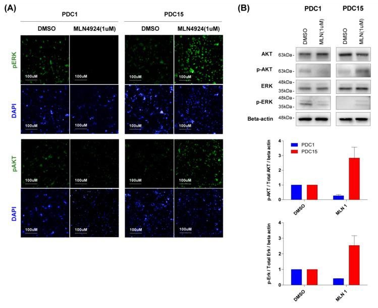 Sensitivity of MLN4924 is associated with upregulation of ERK and AKT signaling. ( A ) Immunofluorescence staining of pERK and pAKT were demonstrated in cells induced by MLN4924 (1 μM) treatment. Nuclei were labeled with DAPI. Cell images were captured with Operetta High-Content Imaging System. ( B ) PDC1 and PDC15 cells were treated with MLN4924 for 12 h at the indicated concentrations. AKT, pAKT, ERK, and pERK levels were examined by western blotting. Beta actin was used as a loading control. Similar results were obtained in three independent experiments.