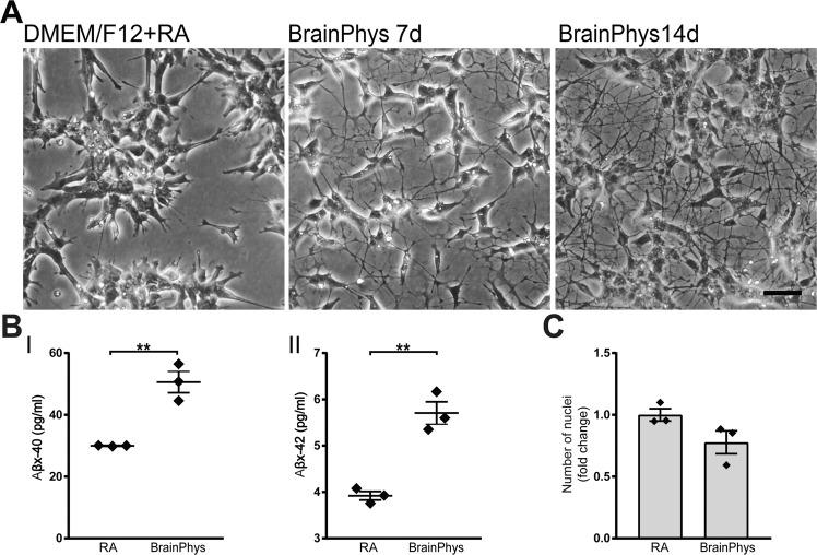 BrainPhys increases neuronal morphology and Aβ secretion in SH-SY5Y cells. SH-SY5Y neuroblastoma cells pre-differentiated with RA for five-seven days and thereafter seeded onto <t>poly-l-ornithine-</t> and <t>laminin-coated</t> plates and cultured either in standard medium (DMEM/F12) or BrainPhys for 7–14 days. ( A ) Phase contrast images of SH-SY5Y cells cultured in standard DMEM/F12 medium (left panel) and cells cultured in BrainPhys media for 7 days (middle panel) or 14 days (right panel) are shown. Increased neuronal morphology with longer and highly branched neurites is observed in BrainPhys-cultured SH-SY5Y cells already after 7 days (middle panel) and increase further with another 7 days (right panel) of BrainPhys culturing. Representative images from one out of three experiments are shown. Scale bar = 100 μM. ( B ) Concentrations of secreted Aβ peptides measured from cell-conditioned media of SH-SY5Y cells cultured in either DMEM/F12 supplemented with retinoic acid for 7 days or in BrainPhys media for 14 days. BrainPhys significantly increases the secretion of both (I) Aβ40 and (II) Aβ42 as compared to the standard medium (Aβ38 is below the lower limit of detection of the assay). Mean values of three separate experiments were analysed with Student's t-test. **p ≤ 0.01. Bars represent mean +/− SEM. ( C ) The cell numbers from phase contrast images from three separate experiments were analysed with Student's t-test. No significant differences in cell numbers were observed between NMM- and BrainPhys-cultured neurons. Bars represent mean +/− SEM presented as relative to NMM.
