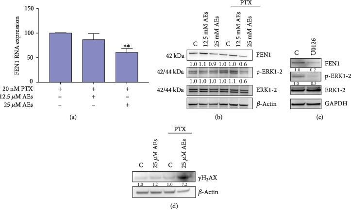 FEN1 modulation and DNA damage in combined treated MDA-MB231 cells. (a) Real-time assay: FEN1 RNA expression is detected in cells treated with indicated concentrations of AEs plus and minus PTX (20 nM). 25 μ M AEs vs. 25 μ M AEs+PTX ∗∗ p = 0.0052. (b) FEN1/p-ERK1-2 protein expression: FEN1 protein expression and phosphorylation level of ERK1-2 were detected in total lysate of treated MDA-MB231 cells. Quantification of band intensities was performed using ImageJ software, normalized by <t>β</t> -actin expression level. Relative values are calculated by comparing sample band intensities to control in each setting (±PTX). (c) Effect of p-ERK1-2 inhibitor on FEN1 expression: FEN1 and p-ERK1-2 level were detected in MDA-MB231 treated for 60 minutes with U0126 (20 μ M), a MAPK/ERK inhibitor. Quantification of band intensities was performed using ImageJ software, normalized by <t>GAPDH</t> expression level. Relative values are calculated by comparing sample band intensities to control. (d) DNA damage level: DNA damage marker γ -H 2 AX was detected in cells treated with AEs plus and minus PTX. Quantification of band intensities was performed using ImageJ software, normalized by β -actin expression level. Relative values are calculated by comparing sample band intensities to control in each setting (±PTX).