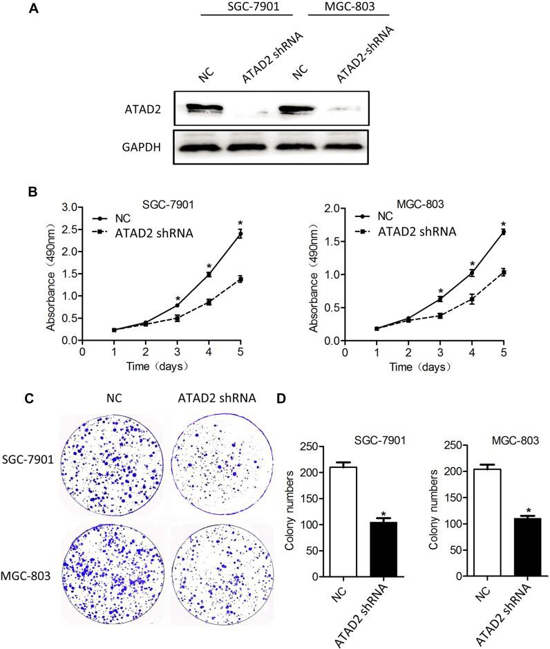 Knockdown of ATAD2 expression inhibits the proliferation and colony formation of GC cells. ( A ) The endogenous ATAD2 expression levels were detected by Western blot in SGC-7901 and MGC-803 cells transfected with pLV-ATAD2 shRNA or pLV-control for 48 hrs. ( B ) MTT cell viability assays were performed on days 1 to 5 after the transfection of SGC-7901 and MGC-803 cells with either pLV-ATAD2 shRNA or pLV-control. The data represents the mean ± SD of 3 independent experiments. (* P
