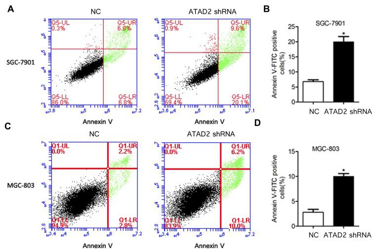 Knockdown of ATAD2 induces apoptosis of GC cells. ( A, B ) Knockdown of ATAD2 significantly induced apoptosis after SGC-7901 cells were transfected with pLV-GRP78 shRNA or pLV-control for 48 hrs. ( C, D ) Knockdown of ATAD2 significantly induces apoptosis after MGC-803 cells were transfected with pLV-GRP78 shRNA or pLV-control for 48 hrs. Data were from three independent experiments and expressed as means ± SD; (* P