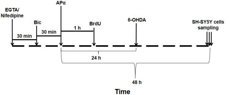 A schematic diagram of timeline in the treatment of SH-SY5Y cells. It showed the time points of EGTA or Nifedipine, Bic, APα, BrdU, 6-OHDA administrations. SH-SY5Y cells sampling was used for the morphological and molecular biological studies. APα, allopregnanolone; 6-OHDA, 6-hydroxydopamine.