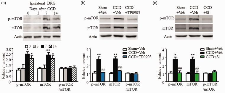 Mediation by the intracellular signaling molecule, mTOR, of nociceptive effects of AXL. (a) The protein amount of p-mTOR and total mTOR increased in the ipsilateral L4/L5 DRGs on days 7 and 14 after CCD surgery. N = 3 rats/time point. One-way ANOVA (expression vs. time points) followed by post hoc Tukey test, * P