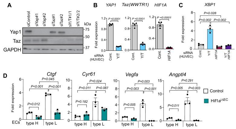 Yap1 and Taz inhibit HIF1α-controlled gene expression. ( A ) Decreased Yap1 and Taz protein levels in siYAP1 and siTAZ -transfected HUVECs. ( B ) Reduced expression of YAP1 , TAZ and HIF1A transcripts in HUVECs transfected with the indicated siRNAs. ( C ) XBP1 expression is increased in siYAP1/TAZ -treated HUVECs and normalized by siHIF1A, whereas baseline XBP1 is not altered by HIF1A knockdown alone (n = 3–4; data are presented as mean ±sem, P values, two-tailed unpaired t-test ). ( D ) Expression of the Yap1/Taz targets Ctgf, Cyr61 and the HIF1α targets Vegfa, Angptl4 in freshly isolated type H and type L EC subpopulations from P21 Hif1a iΔEC littermate control long bone. Source data for Figure 5—figure supplement 1B,C,D .
