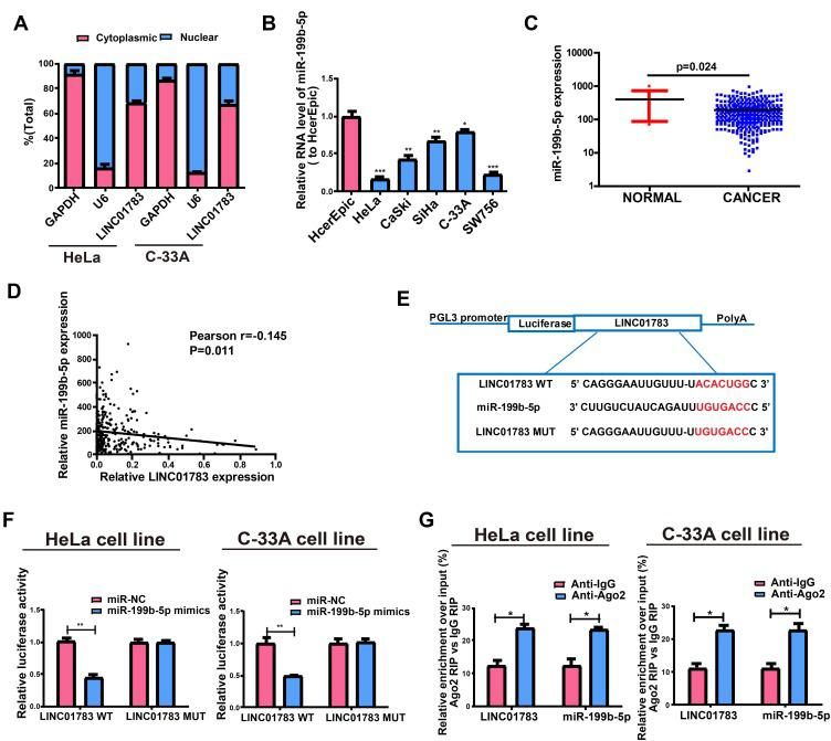 Direct interaction of LINC01783 with miR-199b-5p. ( A ) Cytoplasmic and nuclear level of LINC01783 in HeLa and C-33A cells as determined by qRT-PCR. ( B ) MiR-199b-5p expression in cervical cancer cell lines (SW756, C-33A, SiHa, HeLa and CaSki) and normal human cervical epithelial cell line HcerEpic as indicated by qRT-PCR. ( C ) MiR-199b-5p expression in cervical cancer tissues and normal tissues on TCGA dataset. ( D ) The correlation between miR-199b-5p and LINC01783 on TCGA dataset. ( E ) Bioinformatics evidences of miR-199b-5p binding onto 3ʹ-UTR of LINC01783. ( F ) Dual-luciferase reporter gene assay in HeLa and C-33A cells post transfection with miR-NC or miR-199b-5p mimics. ( G ) Amount of LINC01783 and miR-199b-5p in HeLa and C-33A cells as detected by RIP experiments. * P