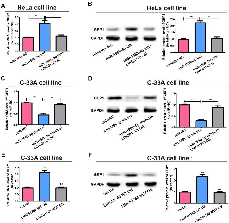 LINC01783/miR-199b-5p axis is critical for GBP1 expression. ( A ) Transfection of MiR-199b-5p inhibitor with or without LINC01783 siRNA into HeLa cells and qRT-PCR evaluation for RNA level of GBP1. ( B ) Western blot of GBP1 protein level after treatment of HeLa cells, GAPDH as the control. ( C ) Transfection of C-33A cells with miR-199b-5p mimics with or without LINC01783 overexpression plasmid and relative RNA levels of GBP1 as detected by qRT-PCR. ( D ) Relative protein level of GBP1 for transfection with miR-199b-5p mimics and reversion by LINC01783 expression plasmid. ( E ) Relative RNA level of GBP1 for transfection with LINC01783 MUT overexpression plasmid or LINC01783 WT overexpression plasmid. ( F ) Relative protein level of GBP1 for transfection with LINC01783 WT overexpression plasmid or LINC01783 MUT overexpression plasmid. ** P